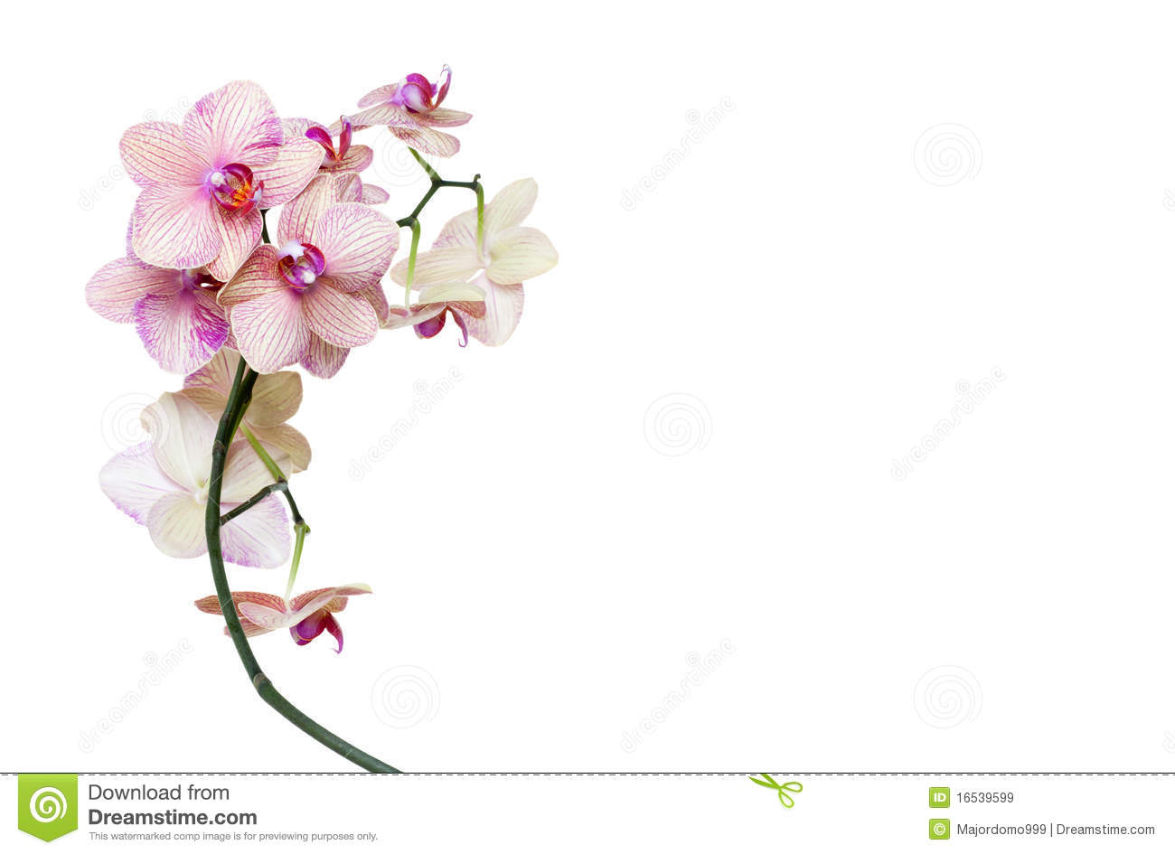 Isolated orchid on white background - template for spa, wellness or ...