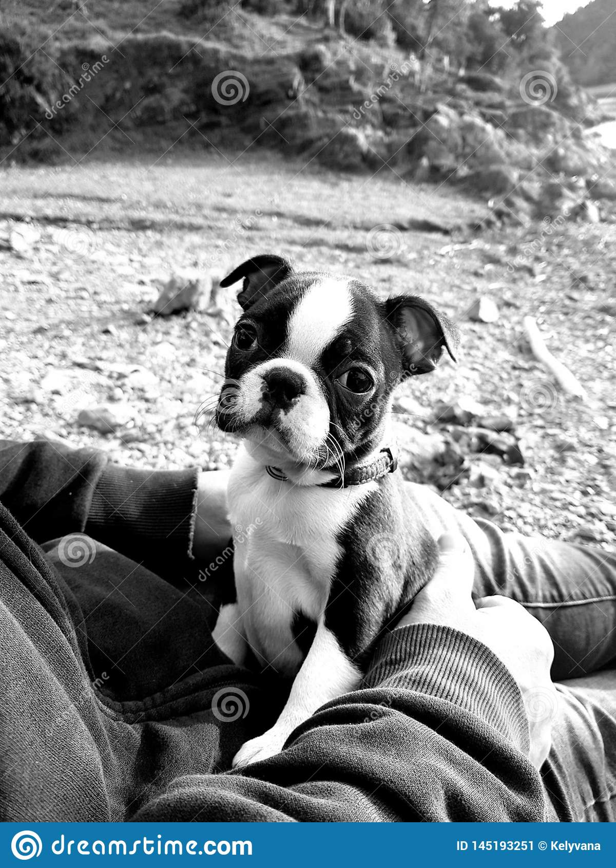 Welpe Bostons Terrier