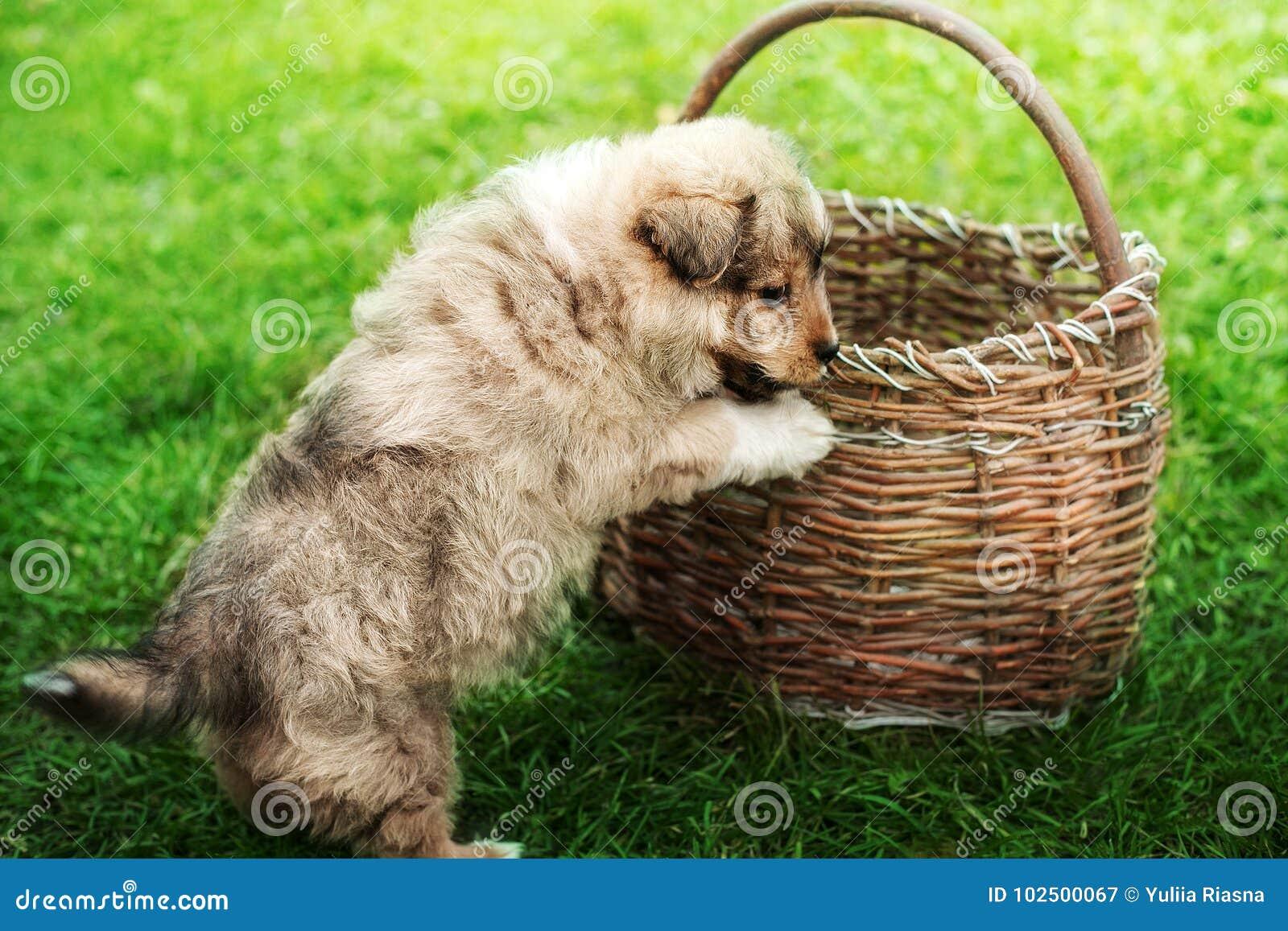 Welpe, der auf einem Korb auf grünem Gras spielt