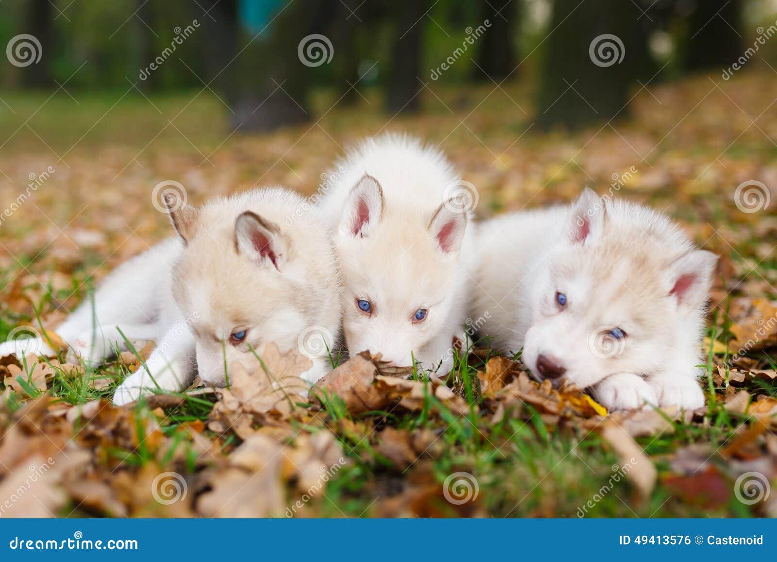 Download Welpe Mit Drei Schlittenhunden Stockfoto - Bild von adorable, hund: 49413576