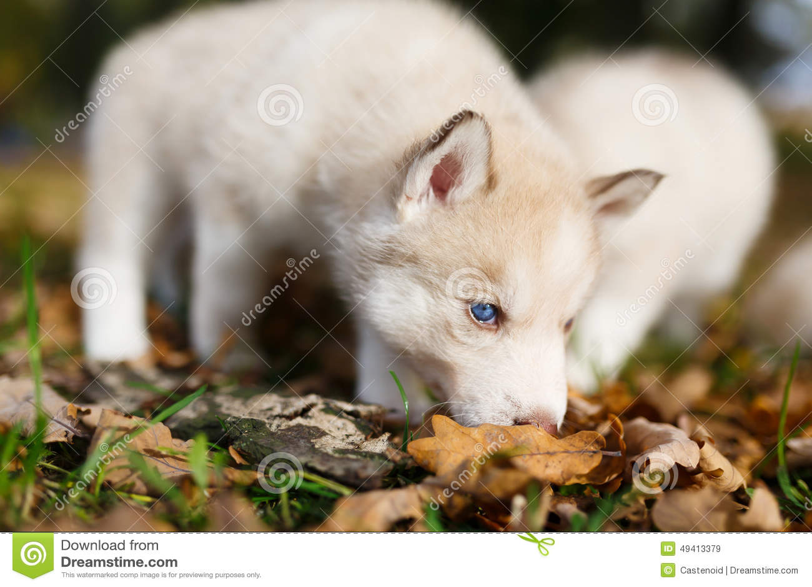 Download Welpe Mit Zwei Schlittenhunden Stockbild - Bild von säugetier, pelz: 49413379