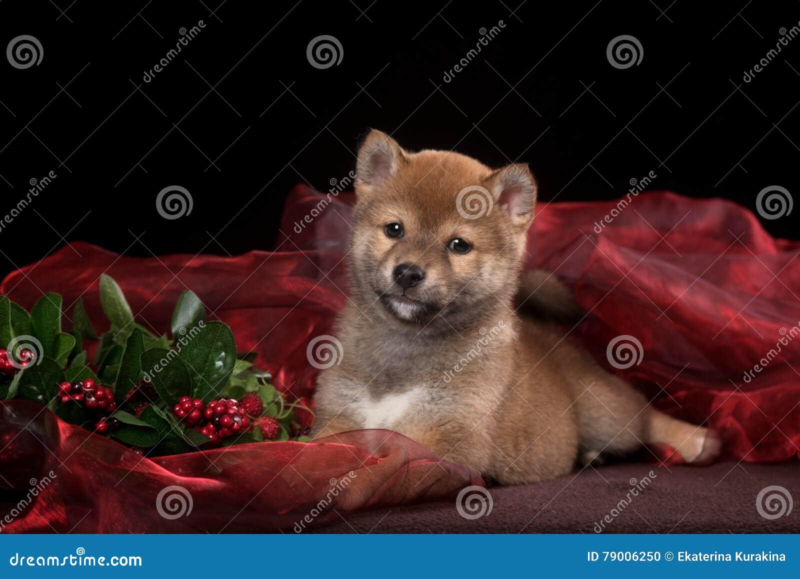Welpe Shiba Inu im Studio stockfoto. Bild von weihnachten - 79006250