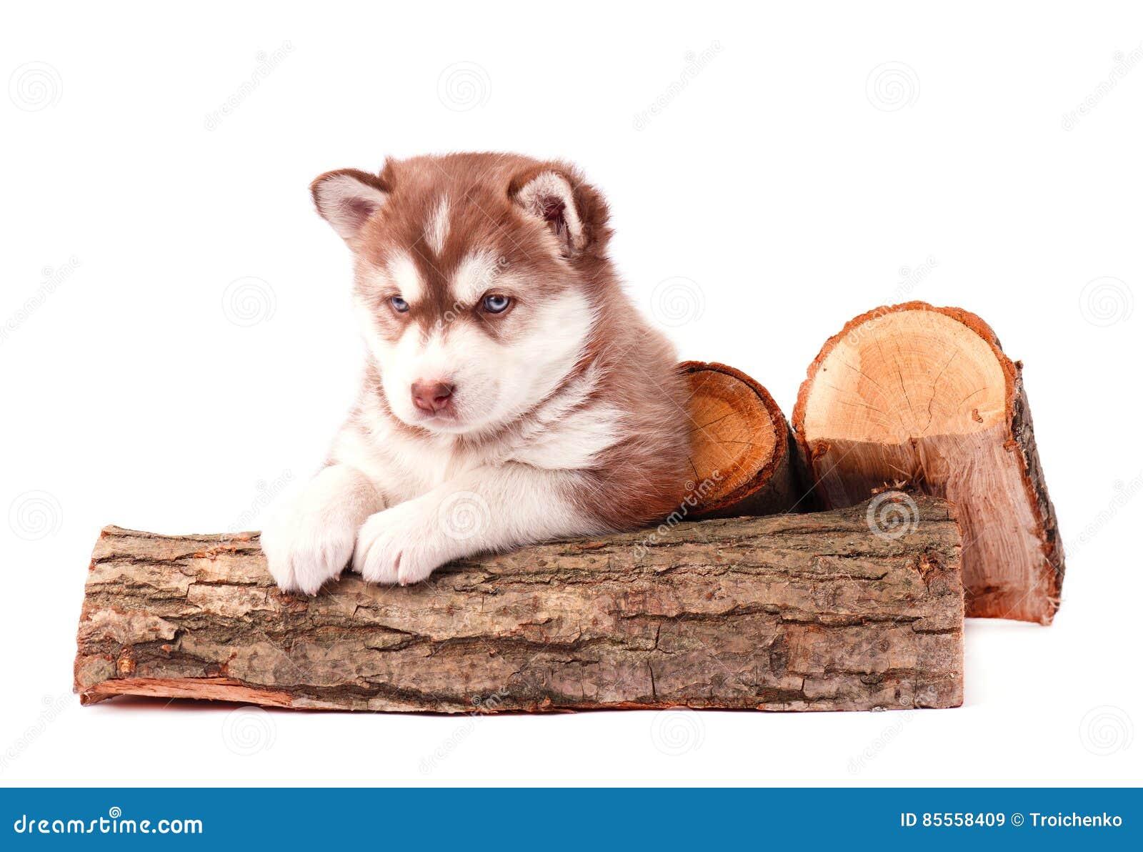 Welpen-brauner sibirischer Husky mit dem Brennholz, lokalisiert auf Weiß