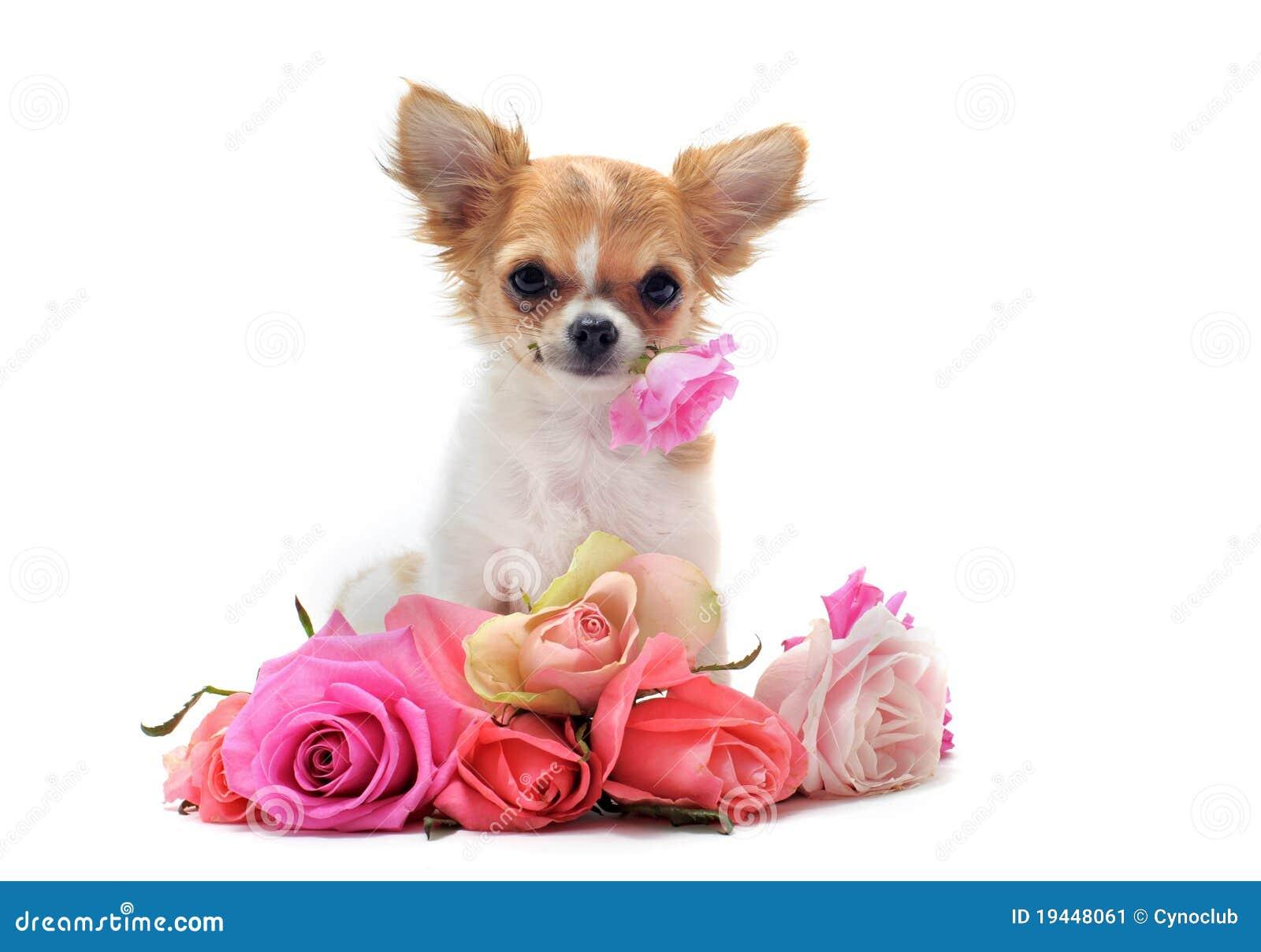 Welpen-Chihuahua und -blume