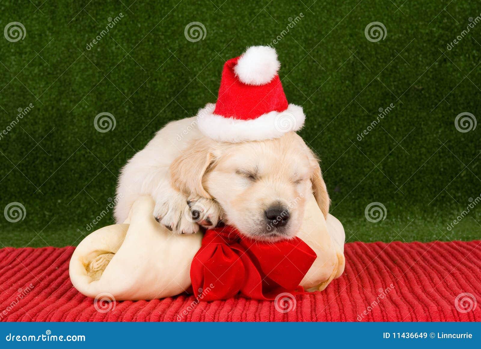 Welpen des Schlafengoldenen Apportierhunds mit dem Knochen