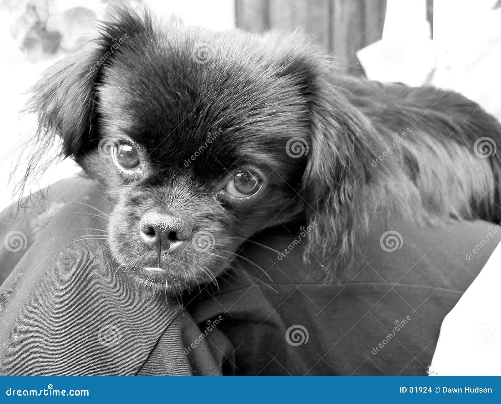 Welpen-Hund