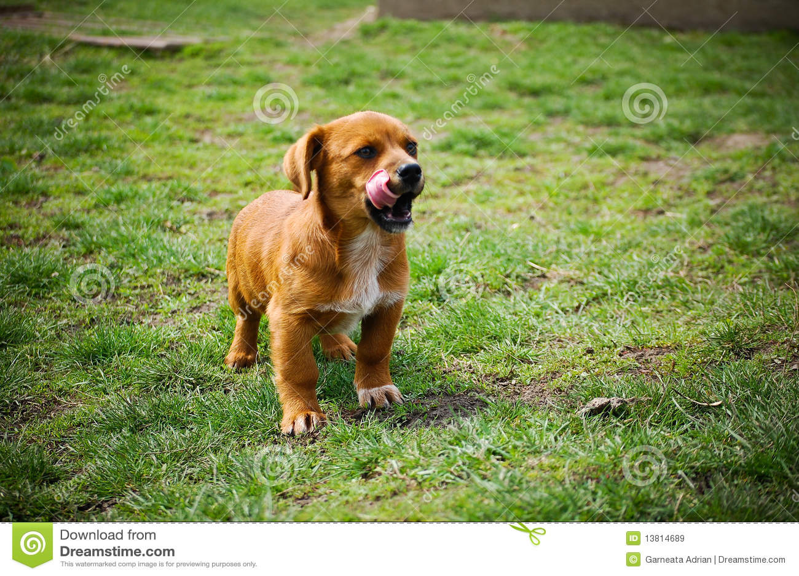 Welpen-Hund mit der Zunge heraus