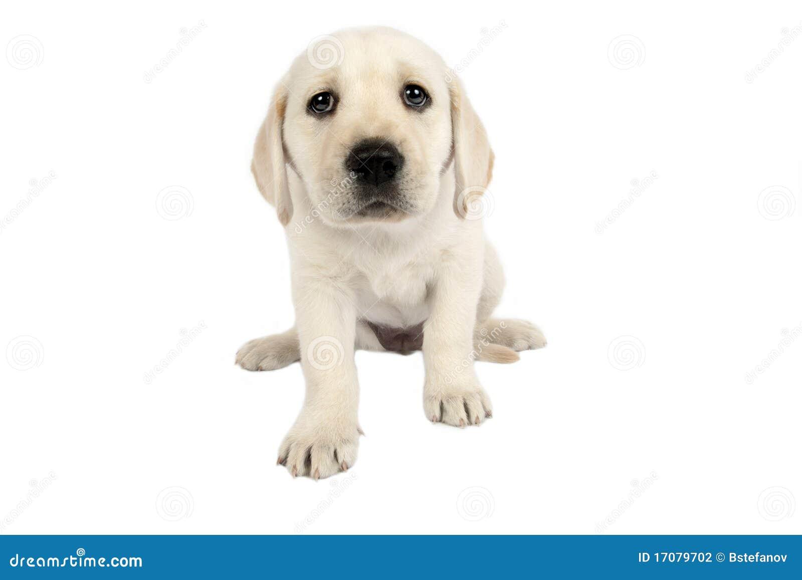 Welpen-Labrador-Apportierhund