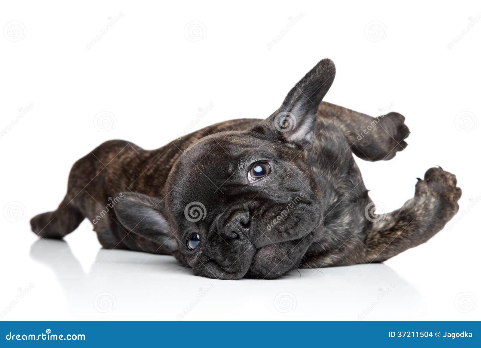 Welpenstillstehen der französischen Bulldogge