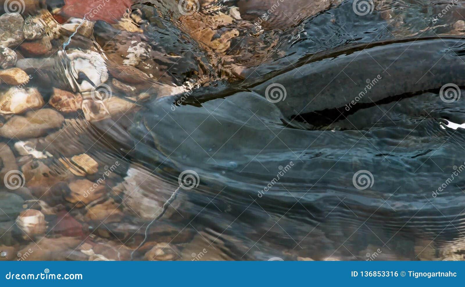 Wels suma Silurus montrous glanis w pięknej czystej rzece w Albi w południe Francja
