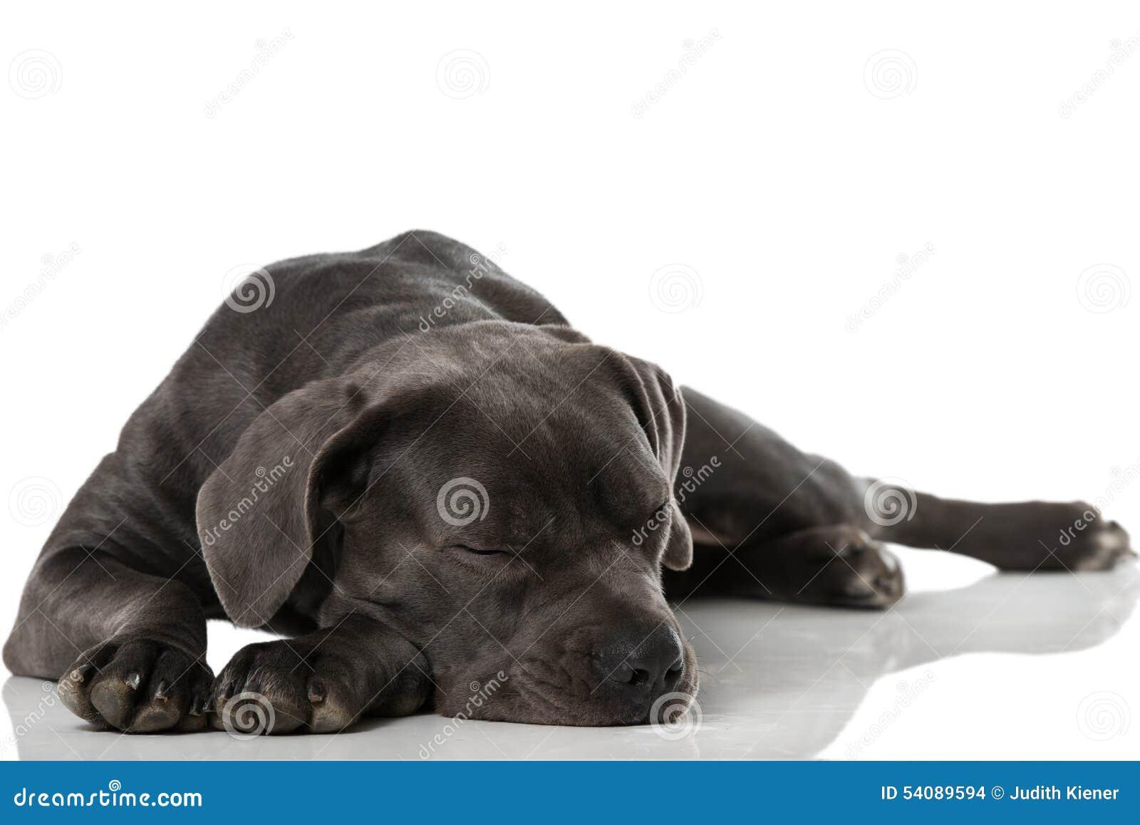 Download Welse Snel In Slaap Terriër Stock Foto - Afbeelding bestaande uit slaap, ogen: 54089594