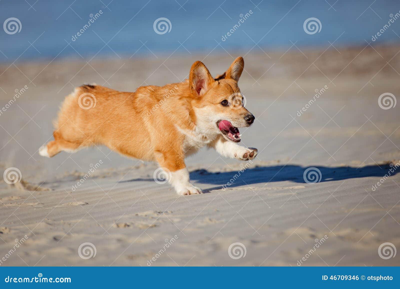 Welsh Corgi Pembroke Dog Running On A ...
