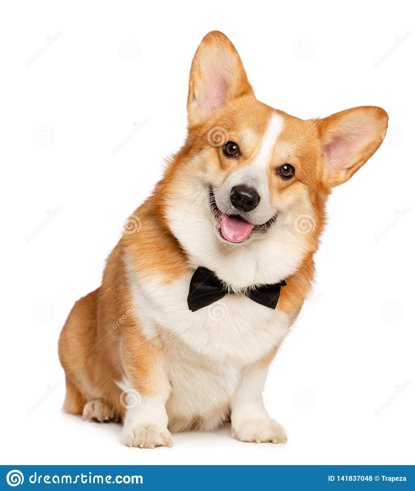 Welsh Corgi Pembroke Dog Isolated on white Background