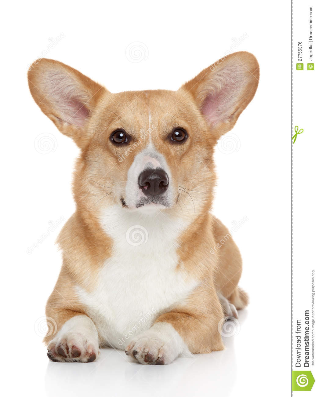 Welsh Corgi Pembroke On White Background Royalty Free Stock Image ...
