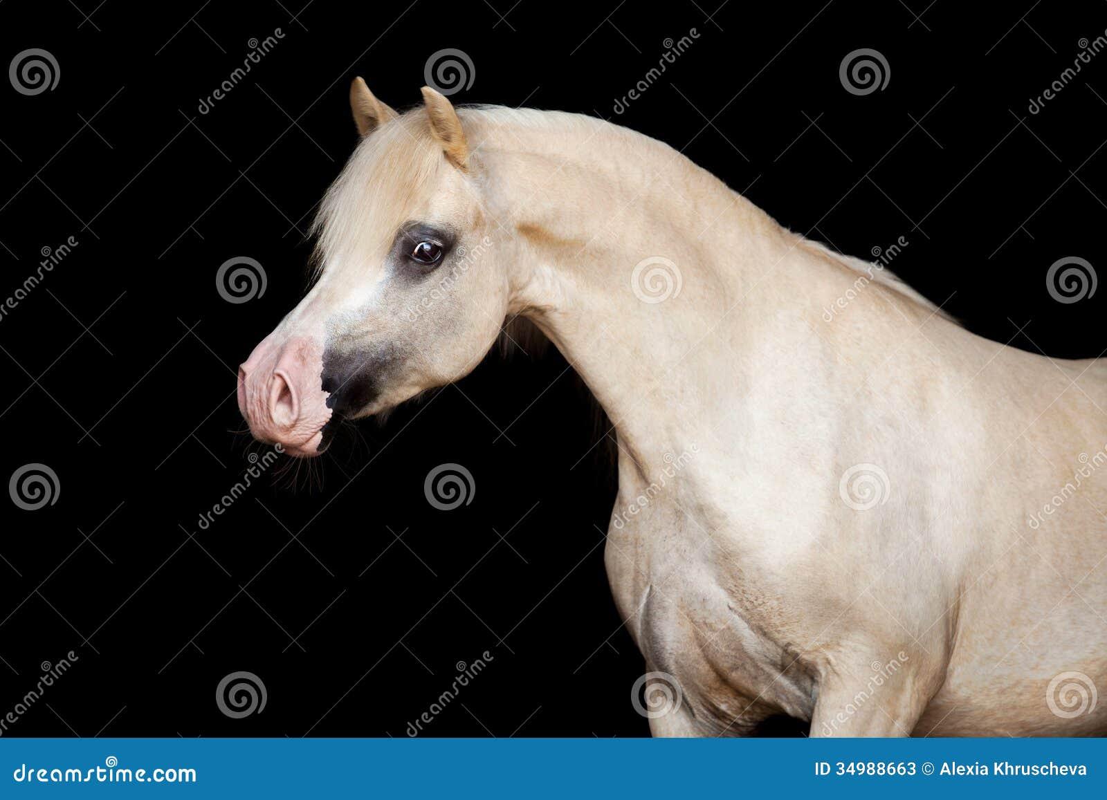 Welsh Pony Isolated On Black Stock Photos - Image: 34988663