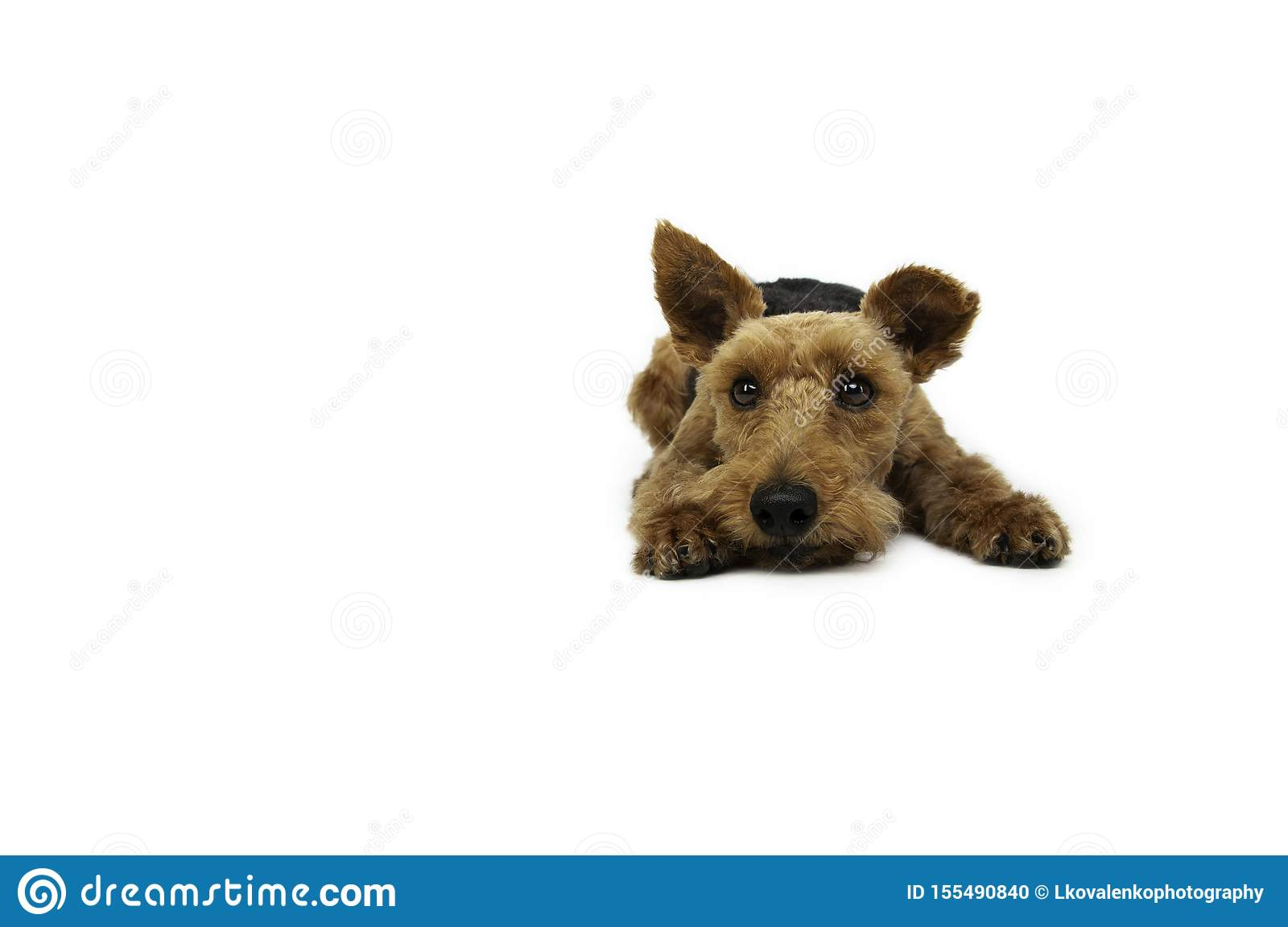 Welsh terrier dog is lying on white background