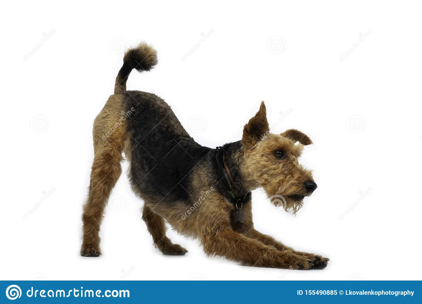Welsh terrier dog is standing in a pose on white background