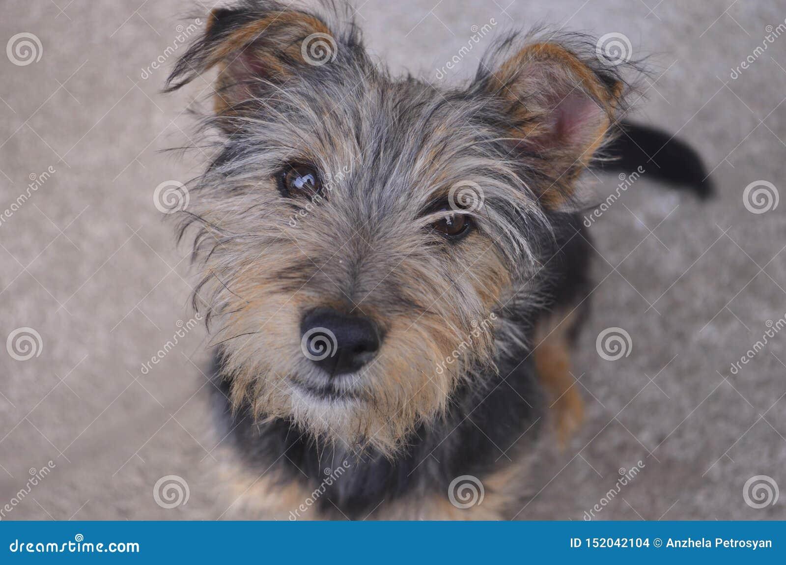 Wenig Aufstellung Yorkshires Terrier