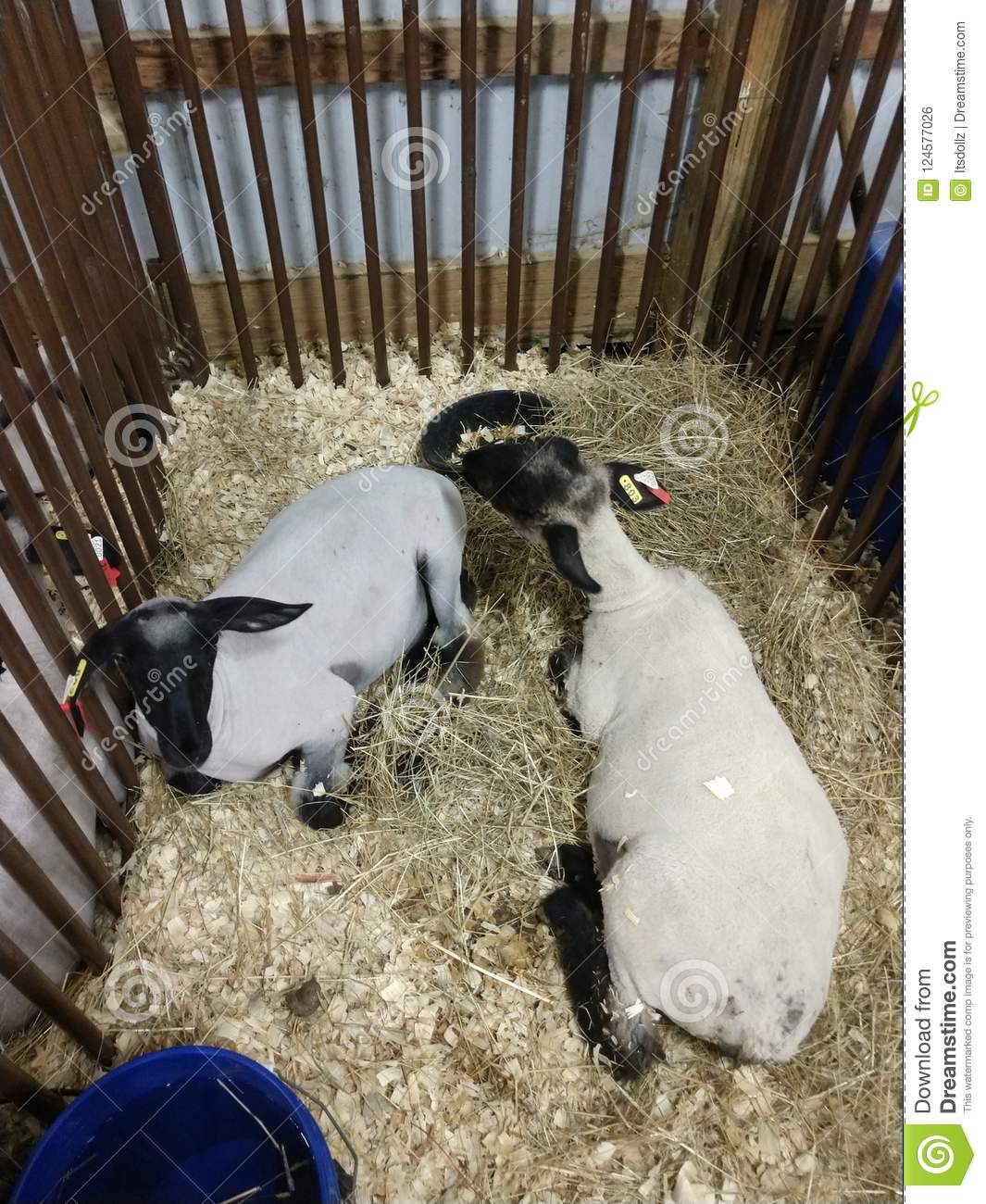 Animals At The WV State Fair Editorial Photo - Image of cows, show