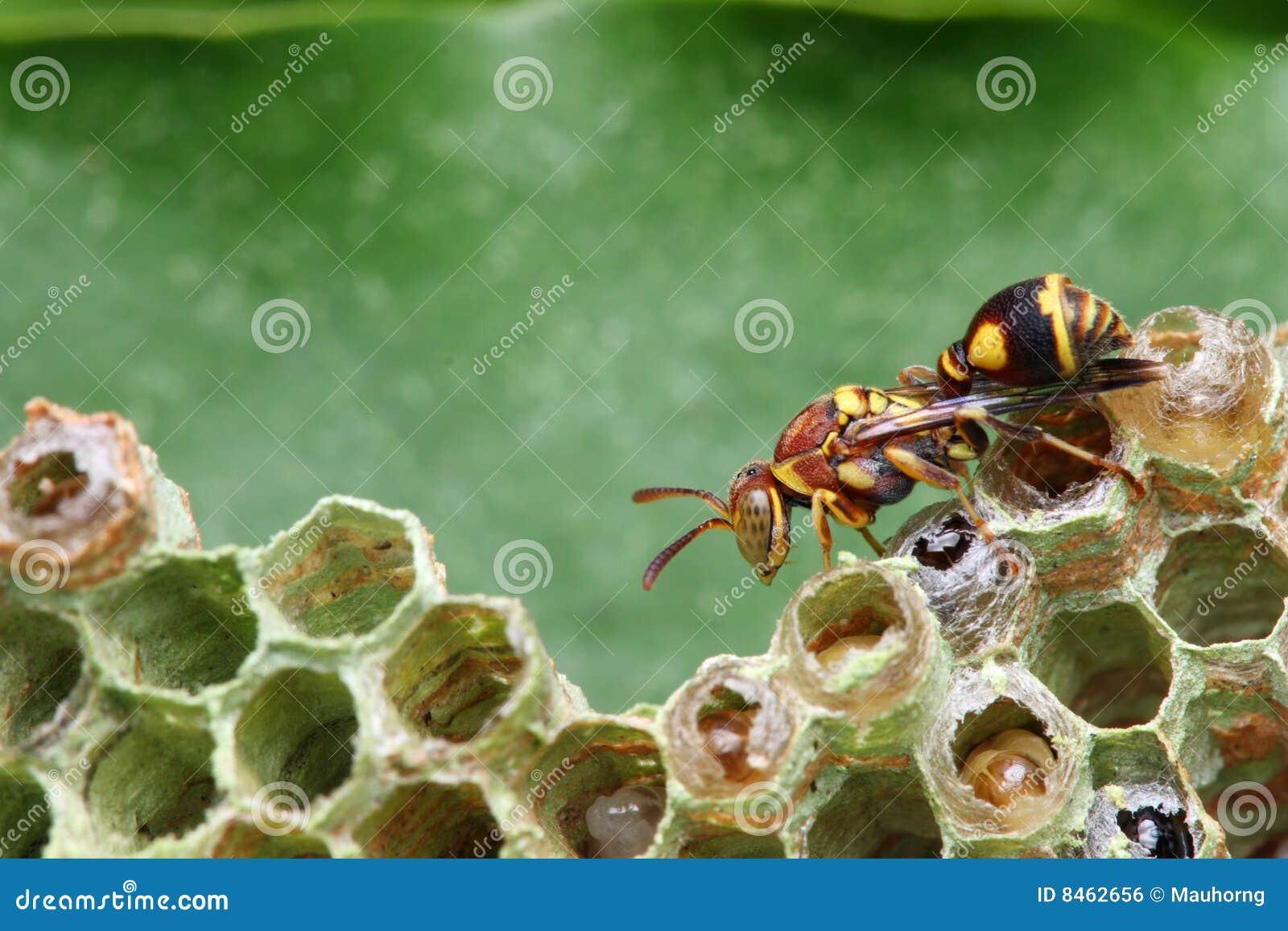 Wesp op Nest