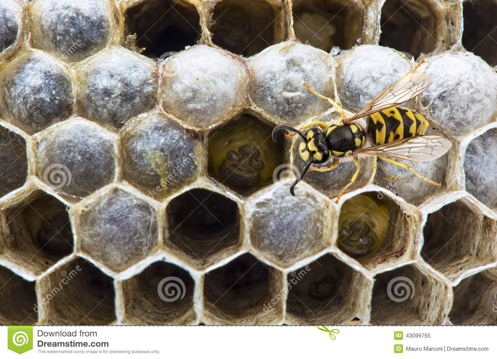 Wespe auf dem Nest