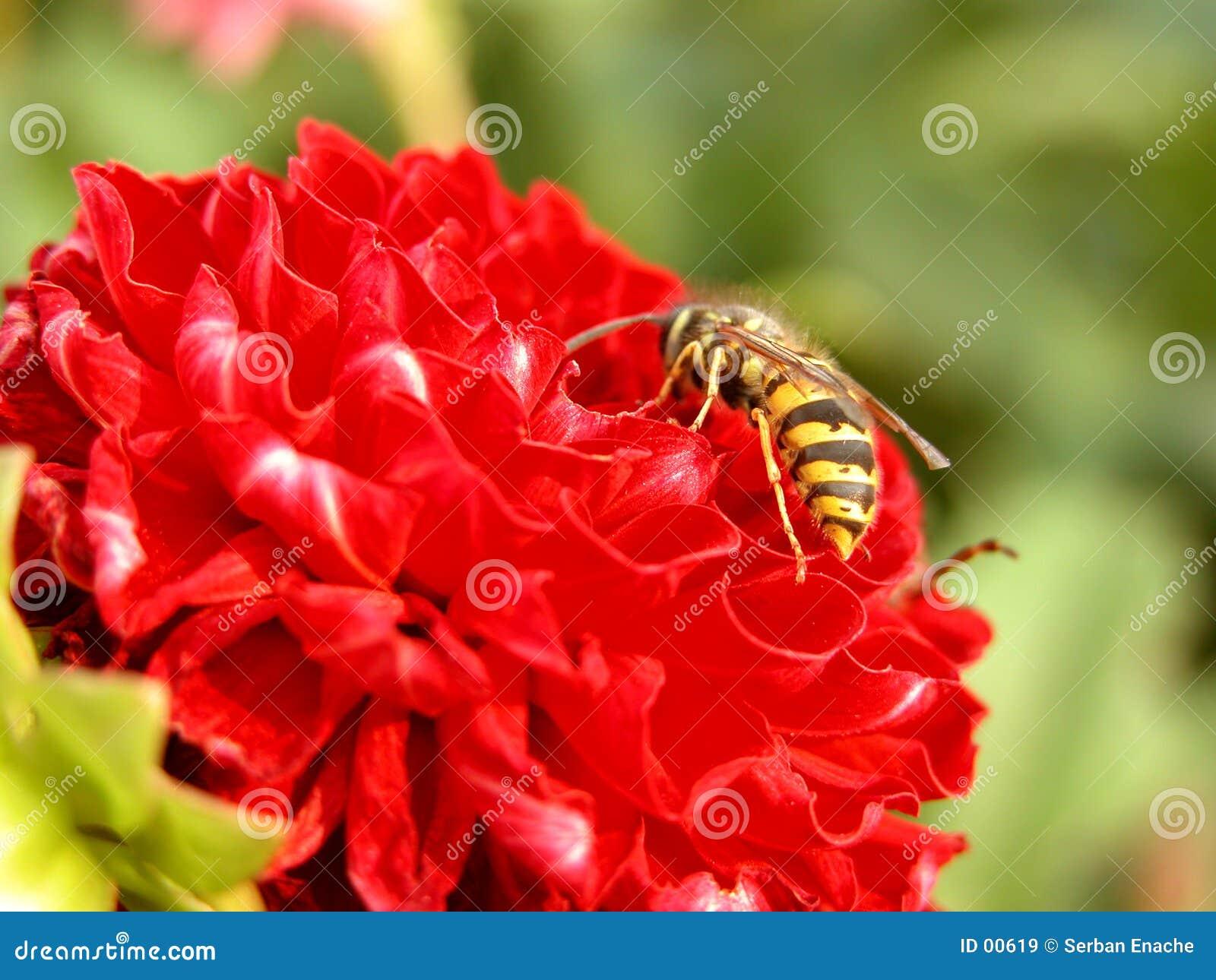 Wespe und rote Blume