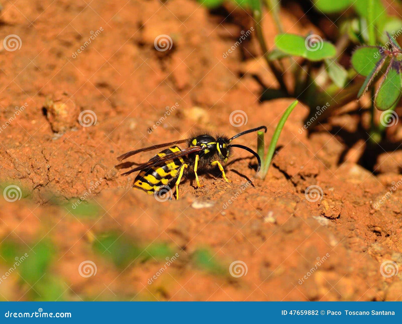 Wespen Auf Dem Boden Um Das Nest Stockfoto