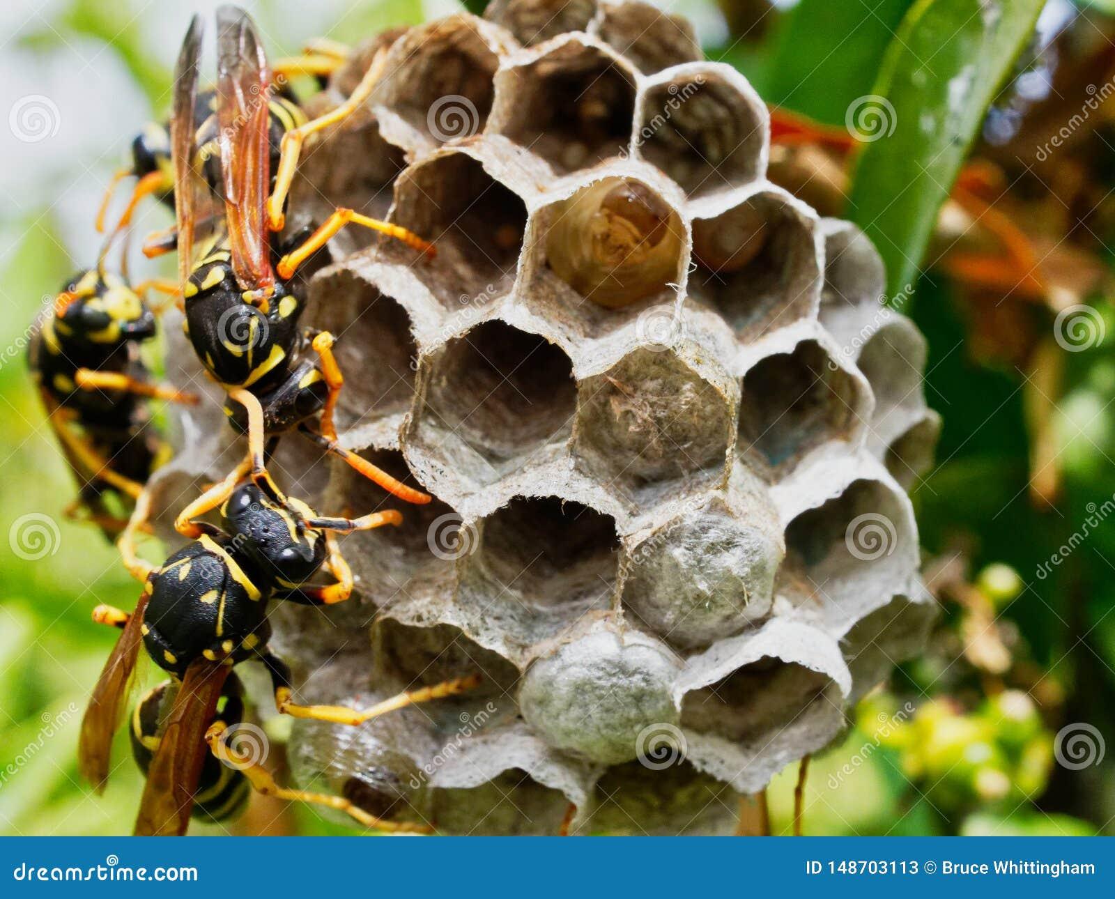 Wespen, die Nest mit dem Reifen von den Larven sichtbar in einer offenen Zelle neigen