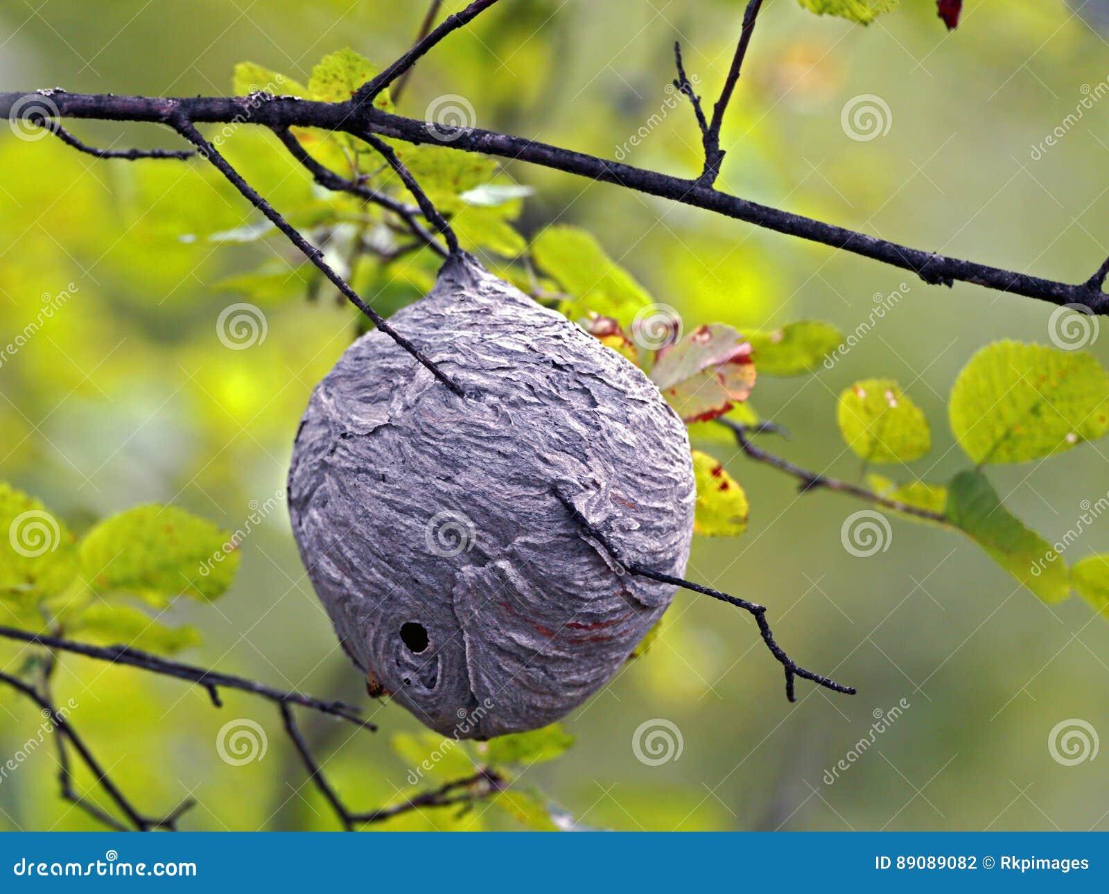 Wespen-Nest Im Baum Stockfoto. Bild Von Aufbau, Wespe