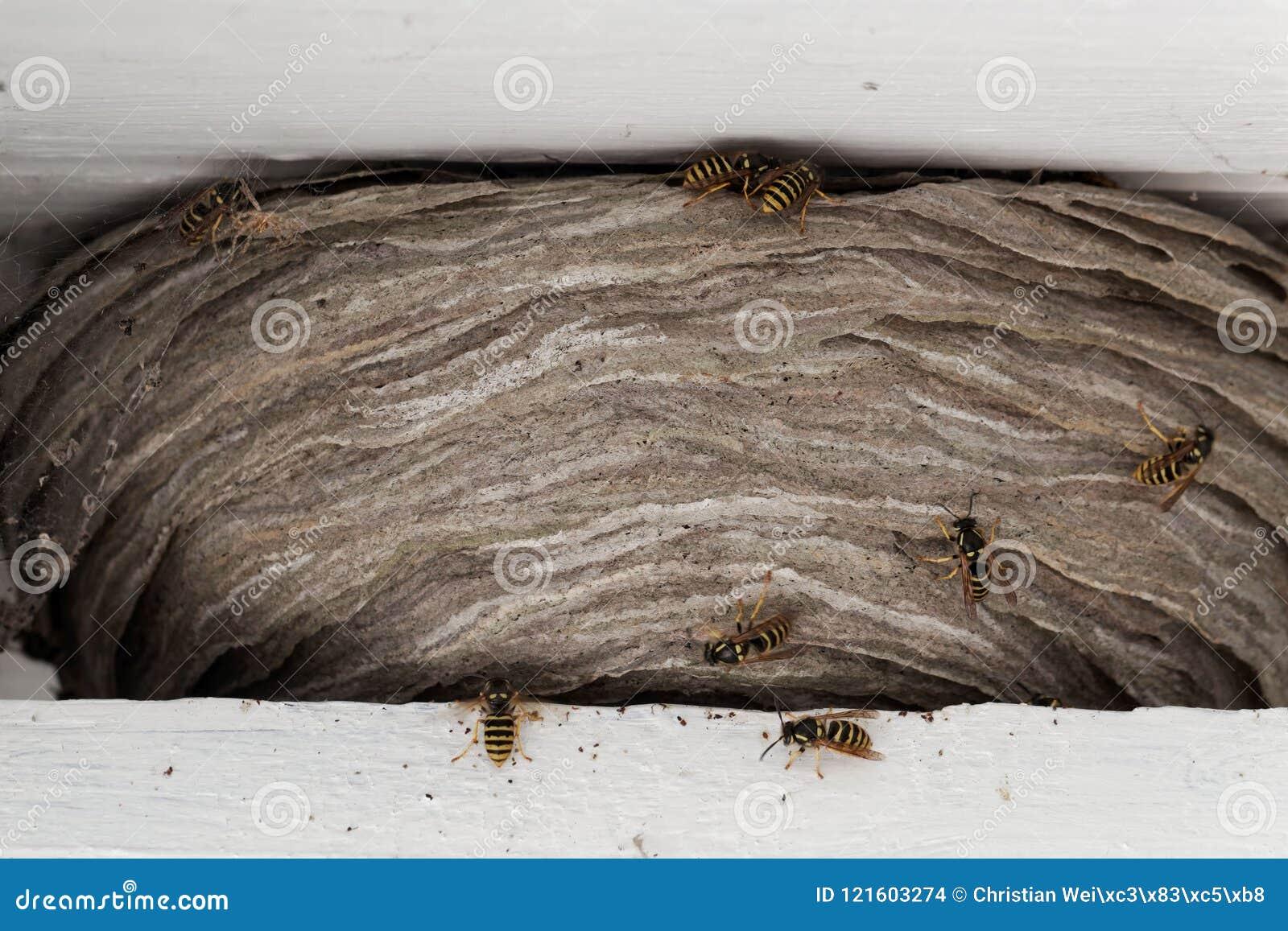 wespennest unter dem dach great wespe am ausflugloch with. Black Bedroom Furniture Sets. Home Design Ideas