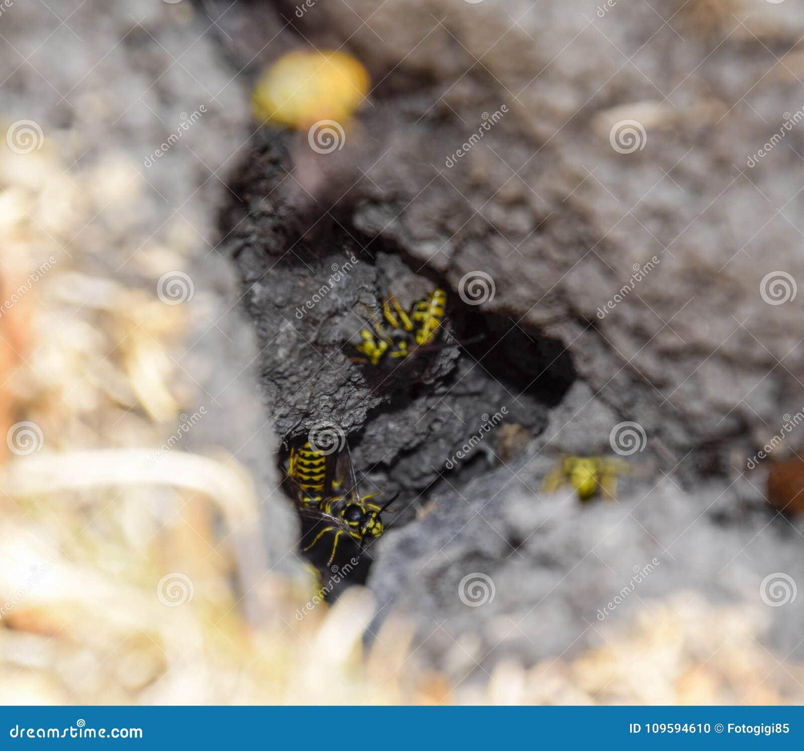 Wespenvlieg in hun nestmink met een espnest ondergronds