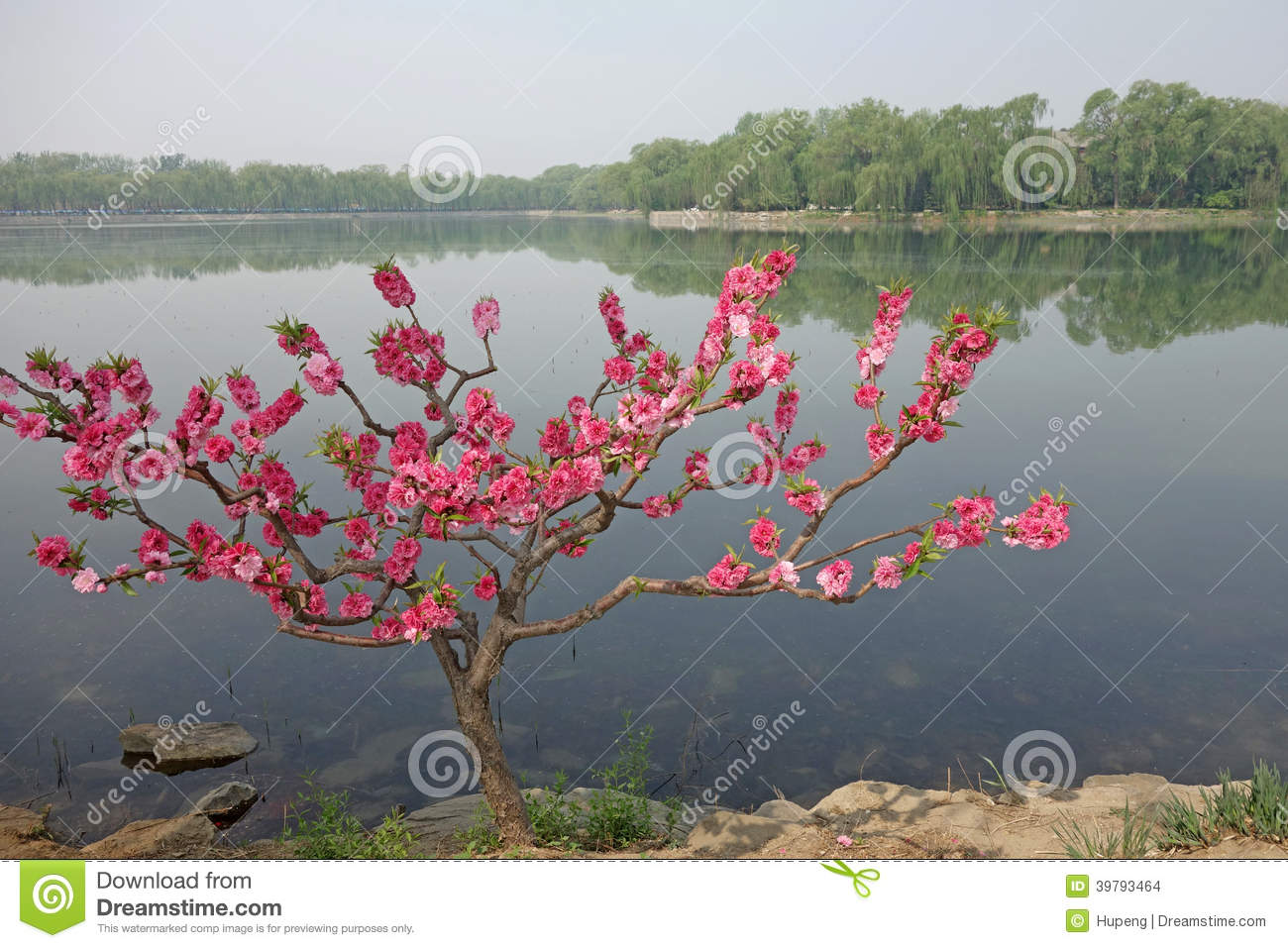 The west causeway(xidi) with Flowering peach