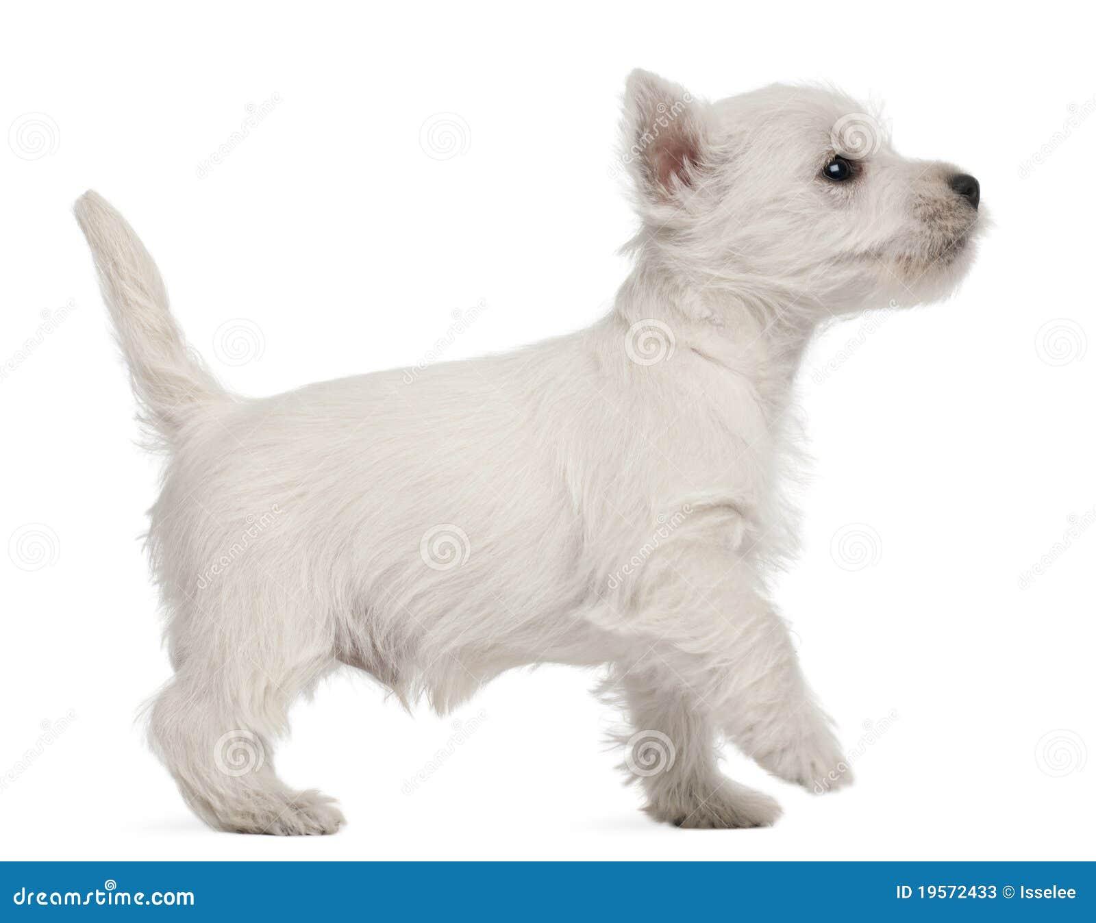 Small Dog Pup At  Weeks