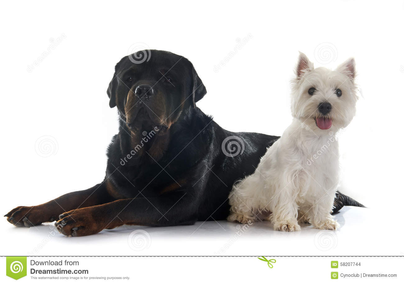 West Highland Terrier And Rottweiler Stock Photo Image - Terrier and rottweiler