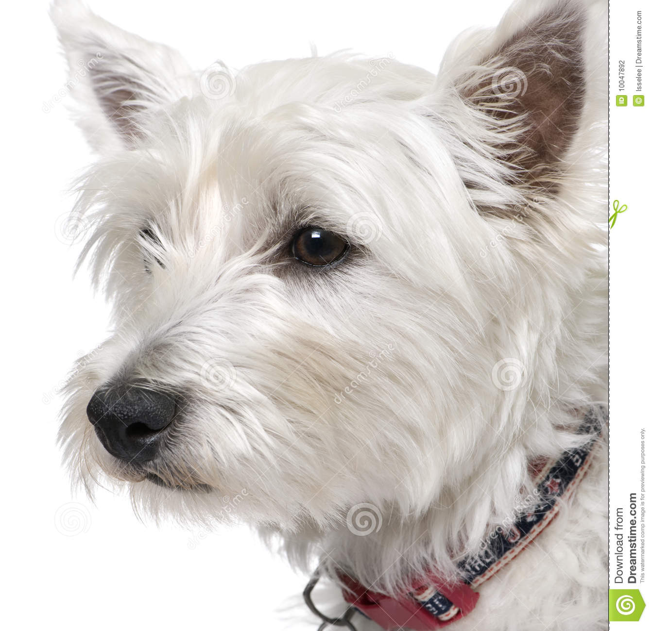 Westie (West Highland White Terrier) Royalty Free Stock Image ...