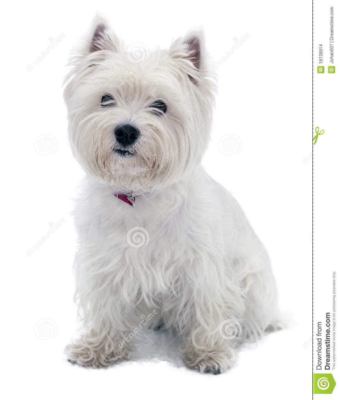 West Highland White Terrier Stock Images - Image: 18139914