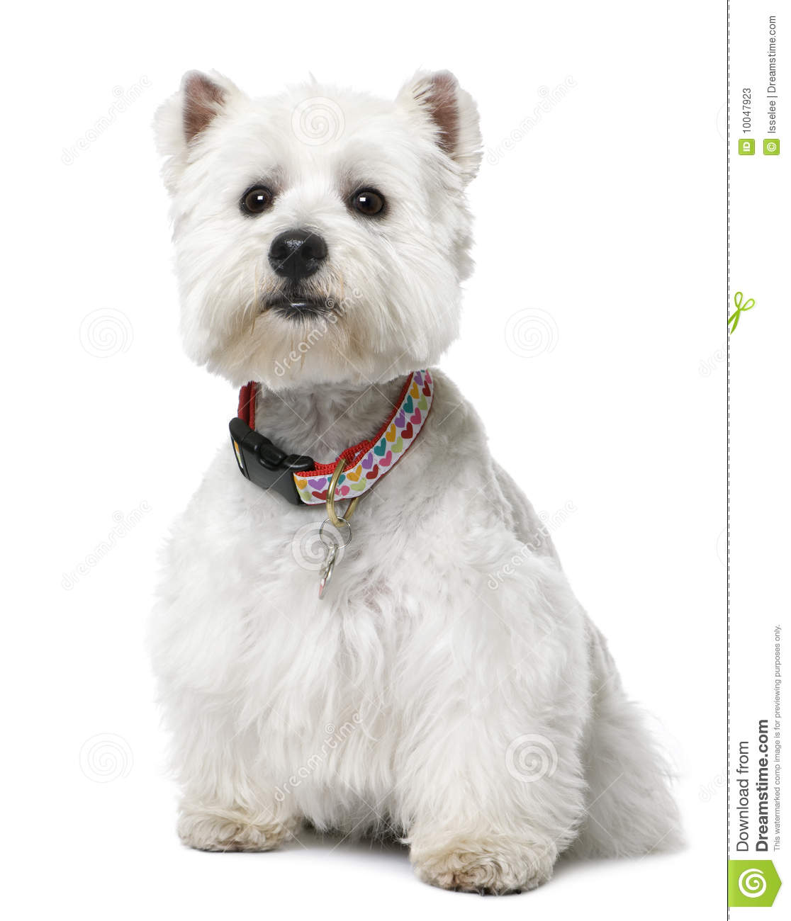 West Highland White Terrier (2 years old) sitting.