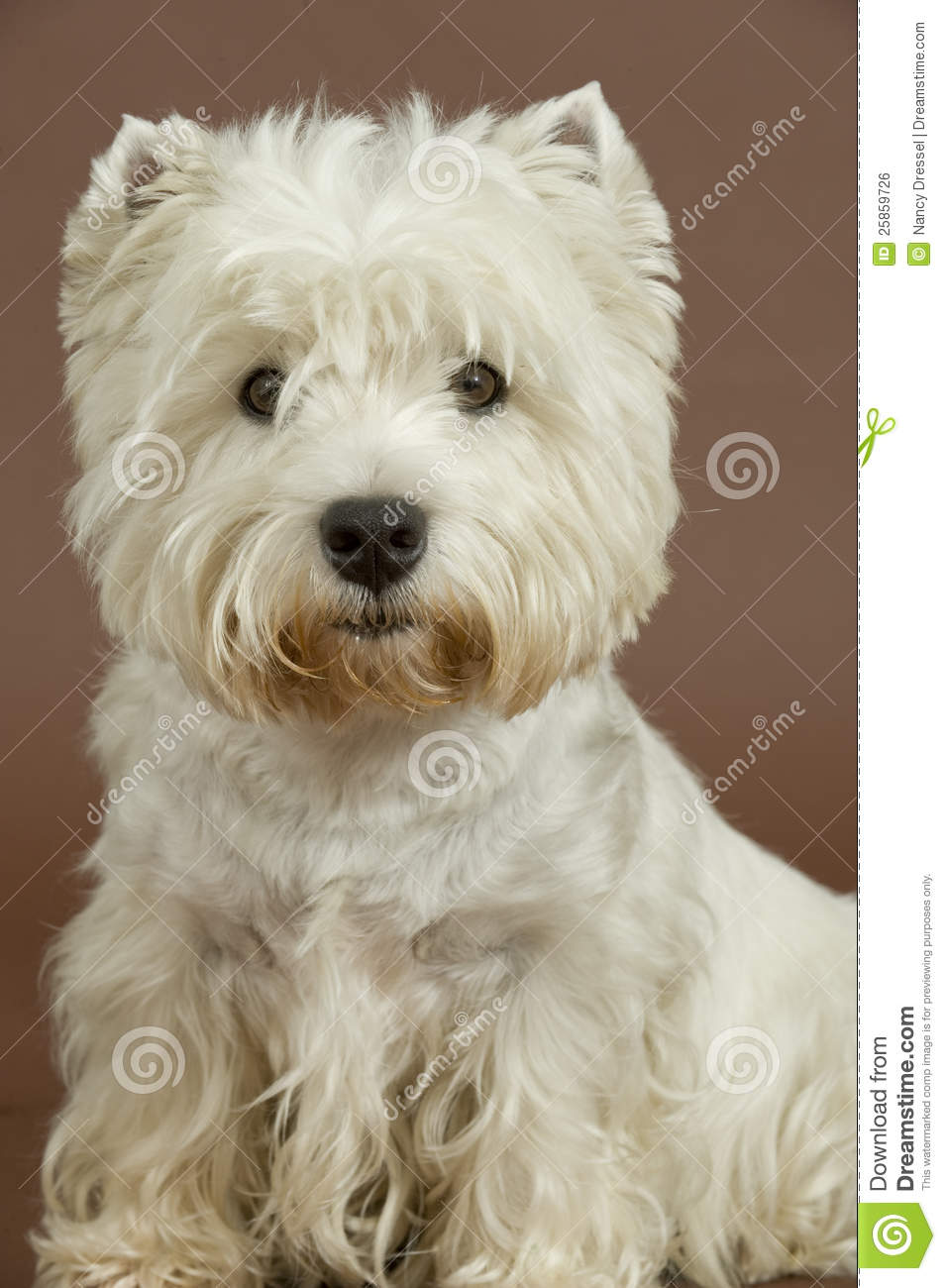 West Highland White Terrier, 3 Years Old Royalty Free Stock Image ...