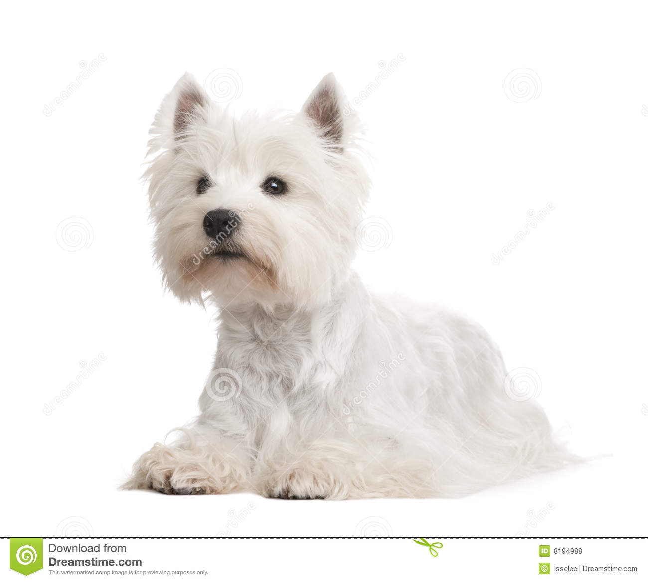 West Highland White Terrier () Royalty Free Stock Photos - Image ...