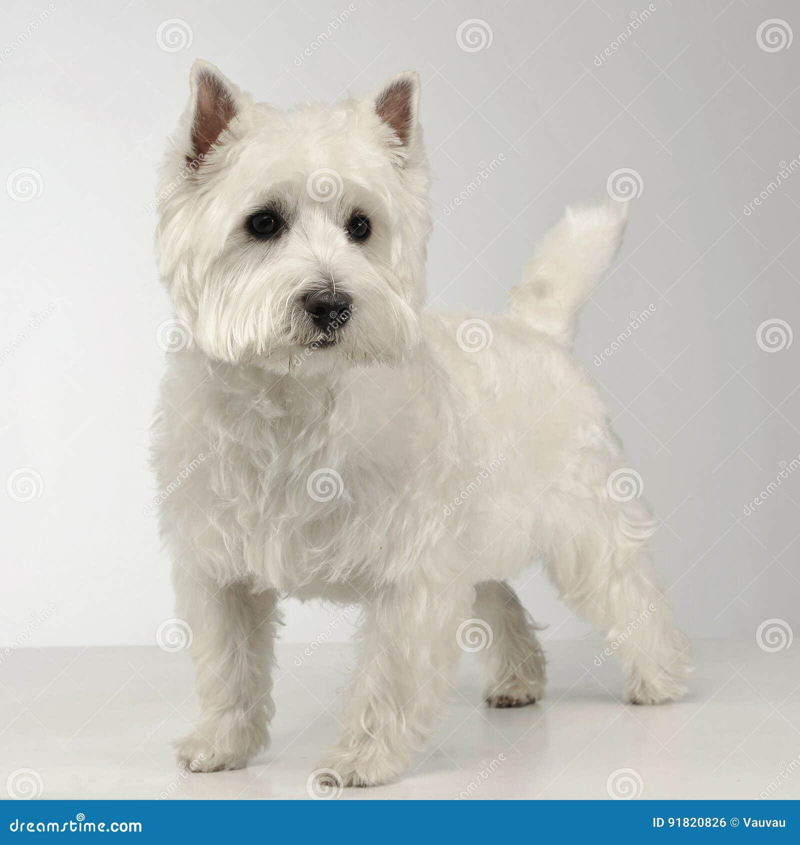 West Highland White Terrier, der auf dem weißen Studioboden bleibt