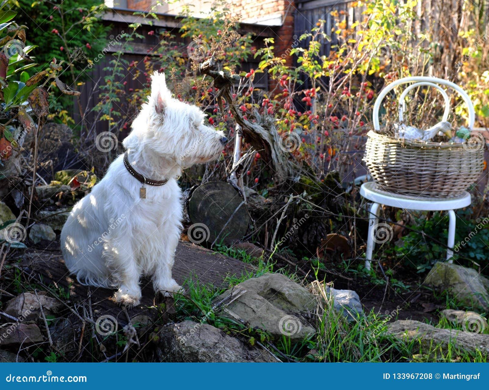 West Highland White Terrier dog in autumn garden