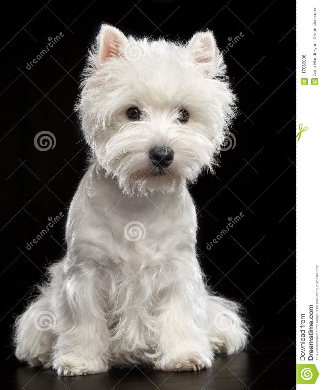 West Highland White Terrier Dog Isolated On Black Background Stock Photo Image Of Westie Terrier 117066006