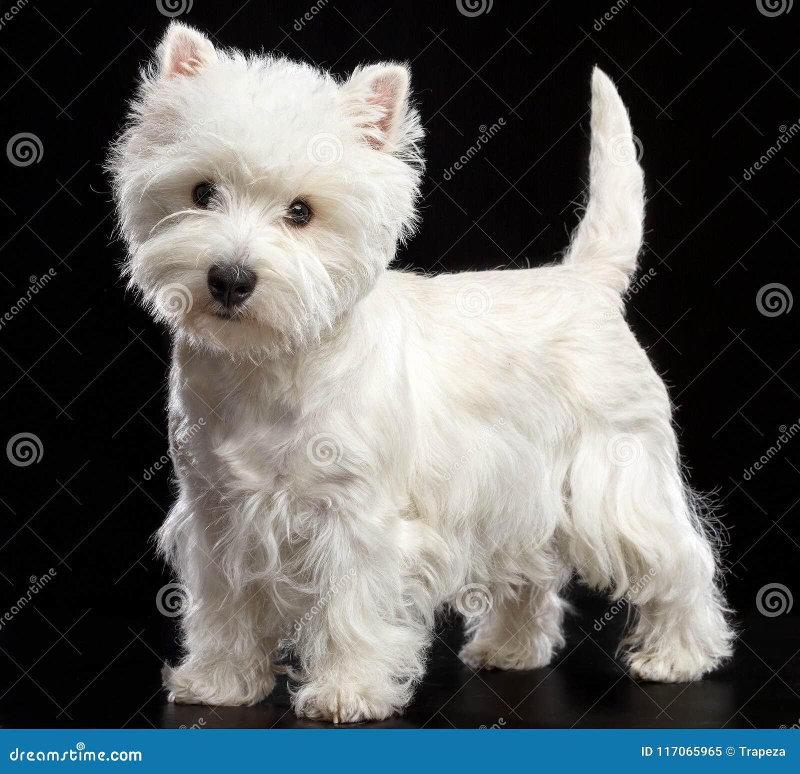 West Highland White Terrier Dog Isolated On Black Background Stock Image Image Of Terrier Black 117065965