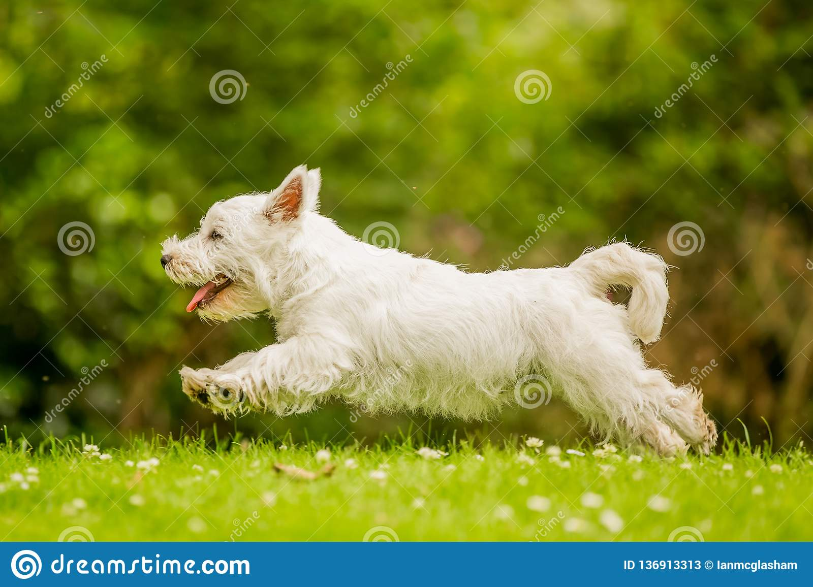 West Highland White Terrier jumping over grass with daisies.