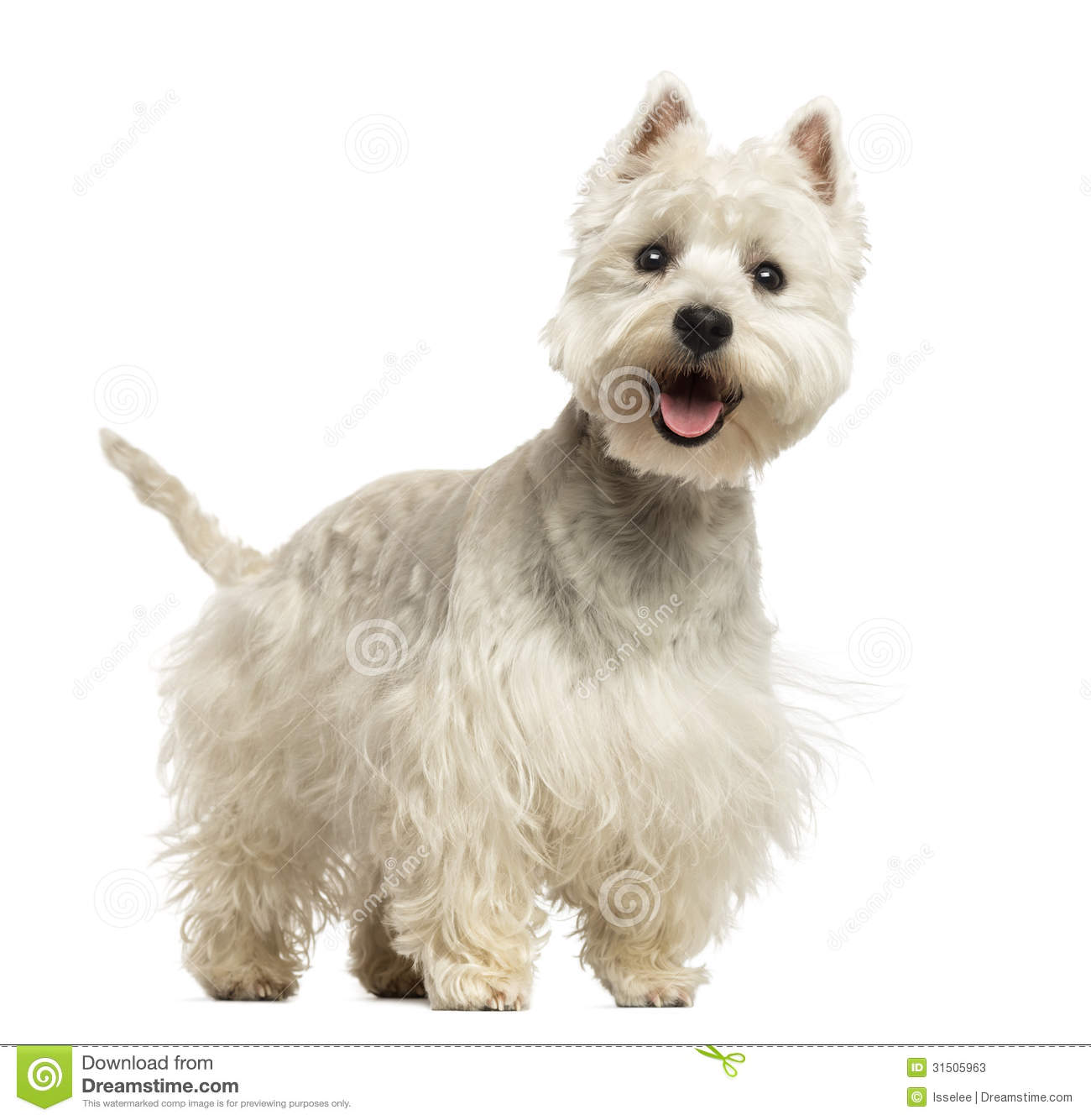 West Highland White Terrier panting, looking happy, 18 months