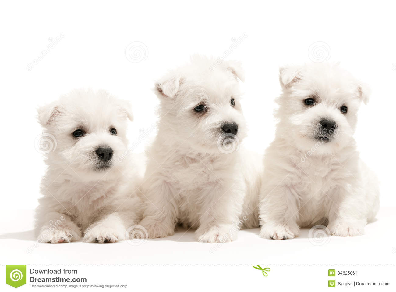 west highland white terrier puppies stock image image 34625061 westie christmas clipart westie clipart free