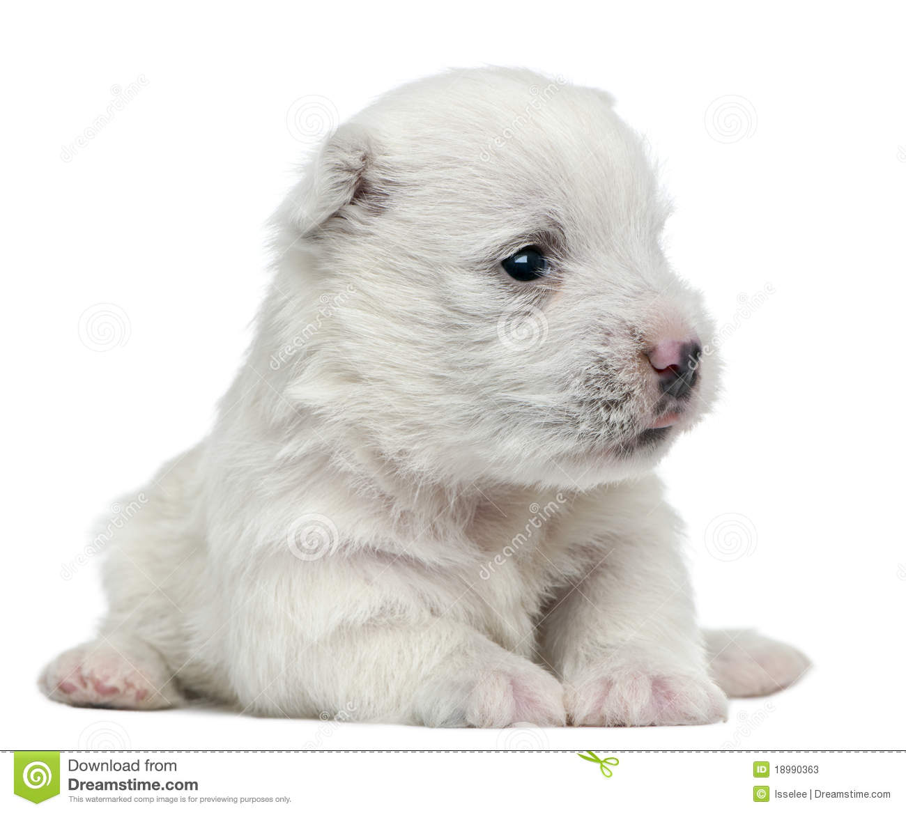West Highland White Terrier Puppy Royalty Free Stock Images ...