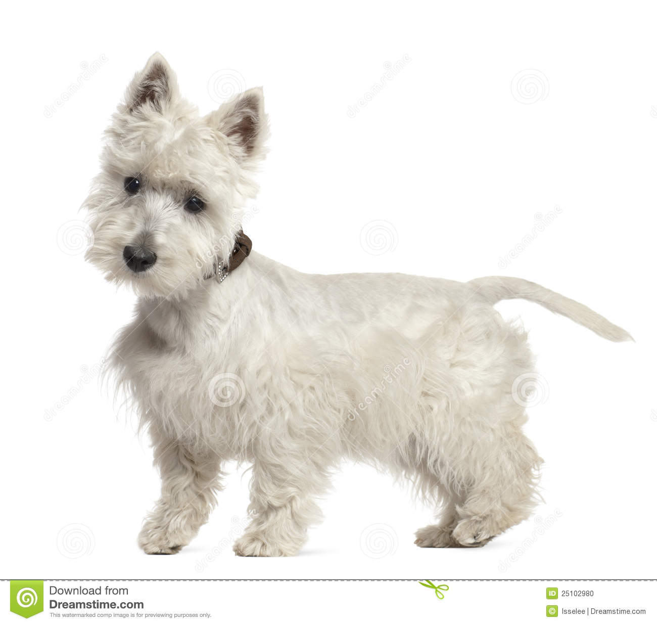 West Highland White Terrier Puppy, 6 Months Old Stock Photo - Image ...