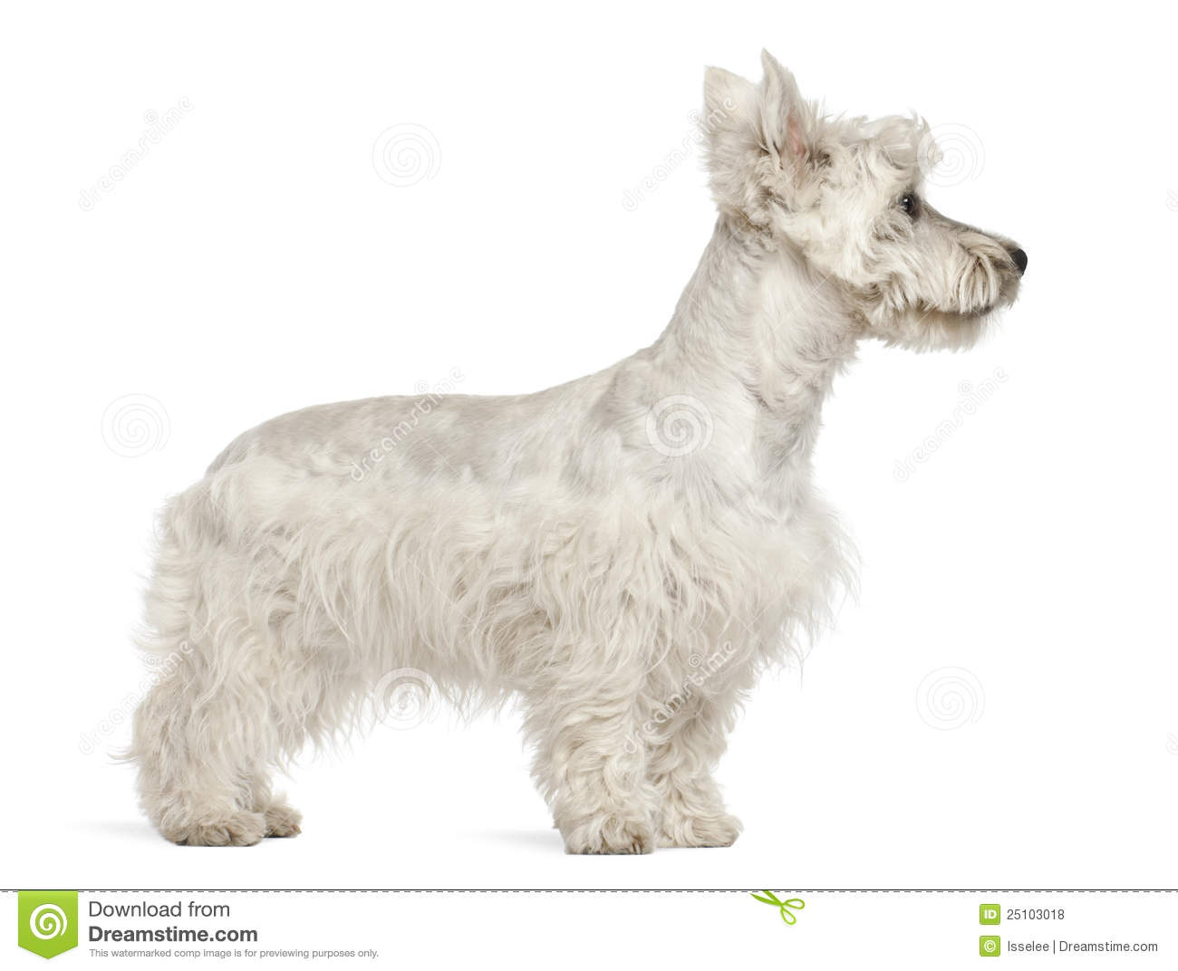 West Highland White Terrier Puppy, 6 Months Old Royalty Free Stock ...