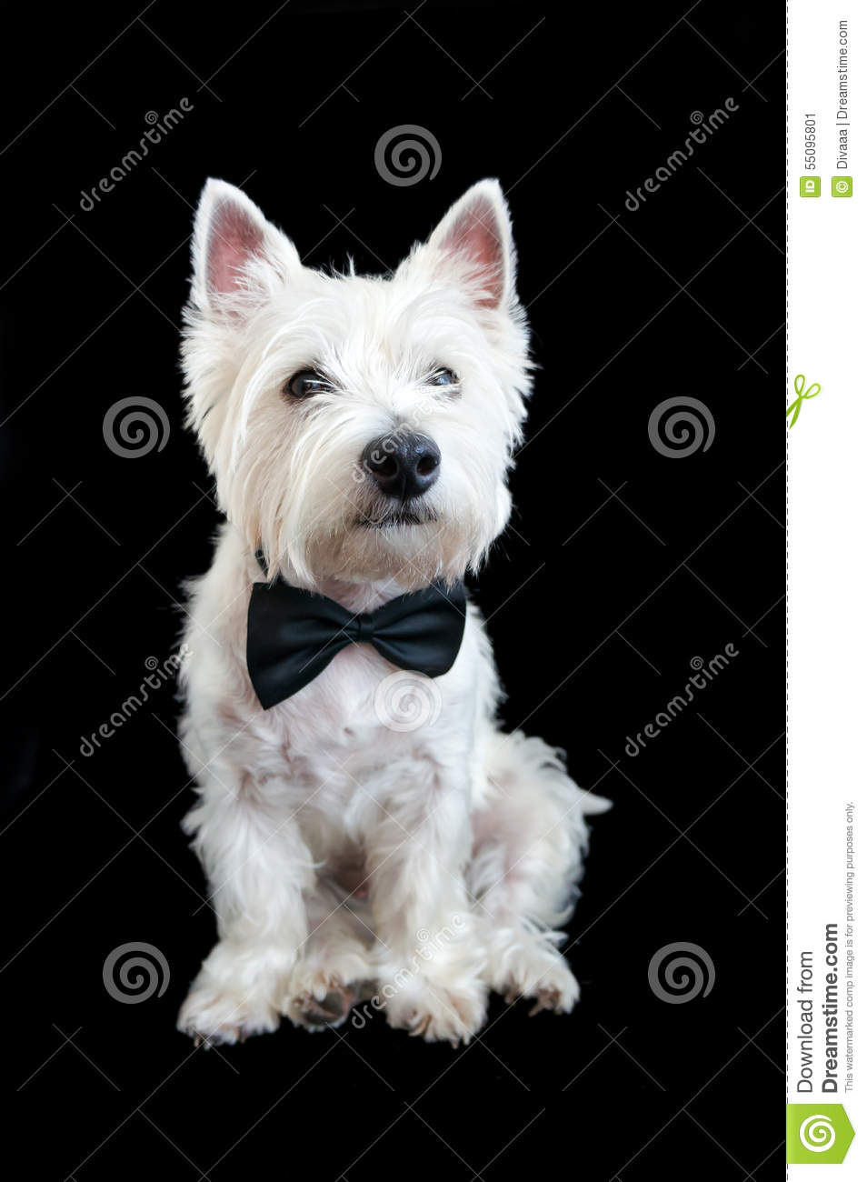 West Highland White Terrier Stock Photo - Image: 55095801